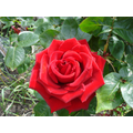 A summer rose - 22 May 2017