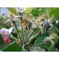Apples for Autumn's harvest - 24 April 2017