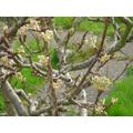 Pear blossom bursting -27 March 2017
