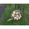 First New Potatoes in Sherness -13 June 2017