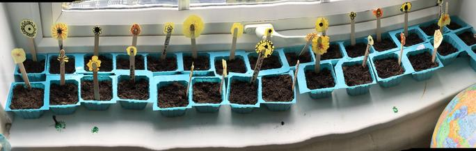 Here are our sunflowers! Very carefully planted!