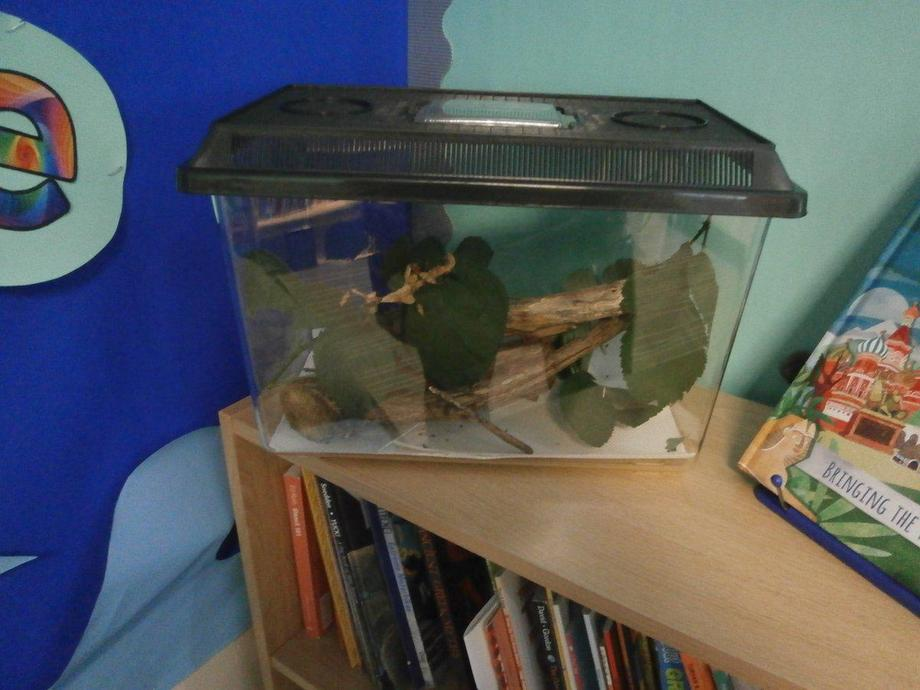 Australian Stick Insects Y6