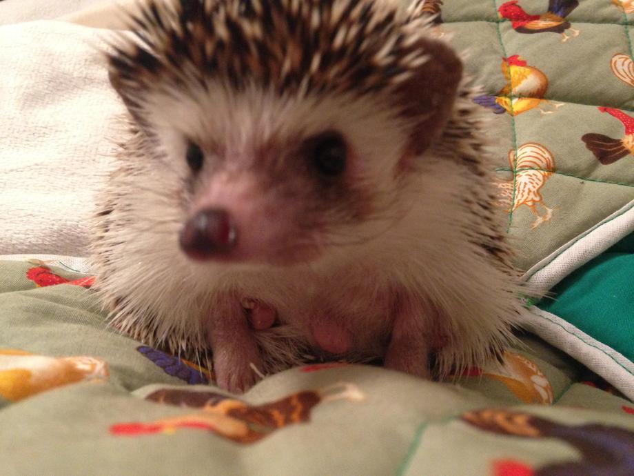 Popcorn the pygmy hedgehog