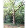 A fully grown oak tree.