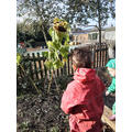Reception growing sunflowers