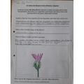 Harrison's Lotus Flower