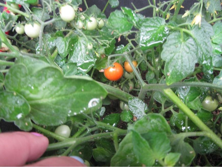 Our tomatoes are growing and starting to ripen.