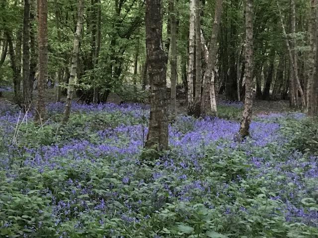 A carpet of bluebells