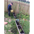 Planting out Raspberry Bushes