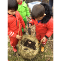 Planting our potatoes