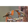This is a pair of robins, they sing beautifully