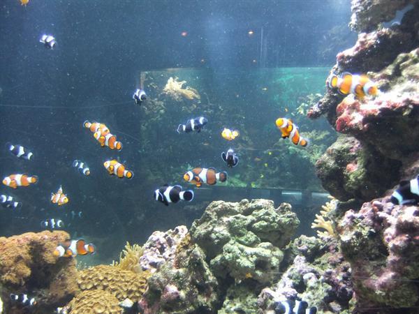 Lots of Nemos