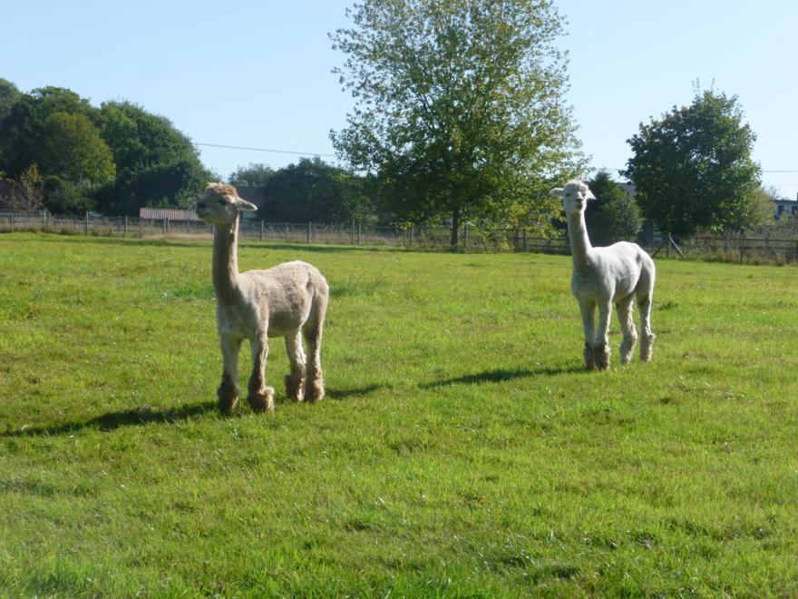 We met two alpacas.