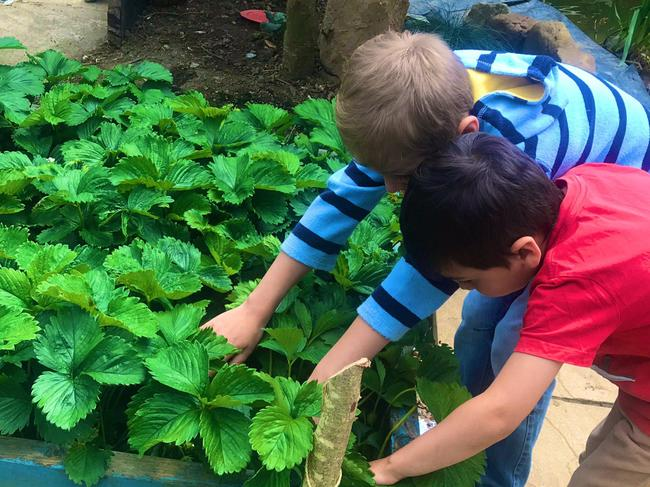 Picking your own strawberries- great growing!