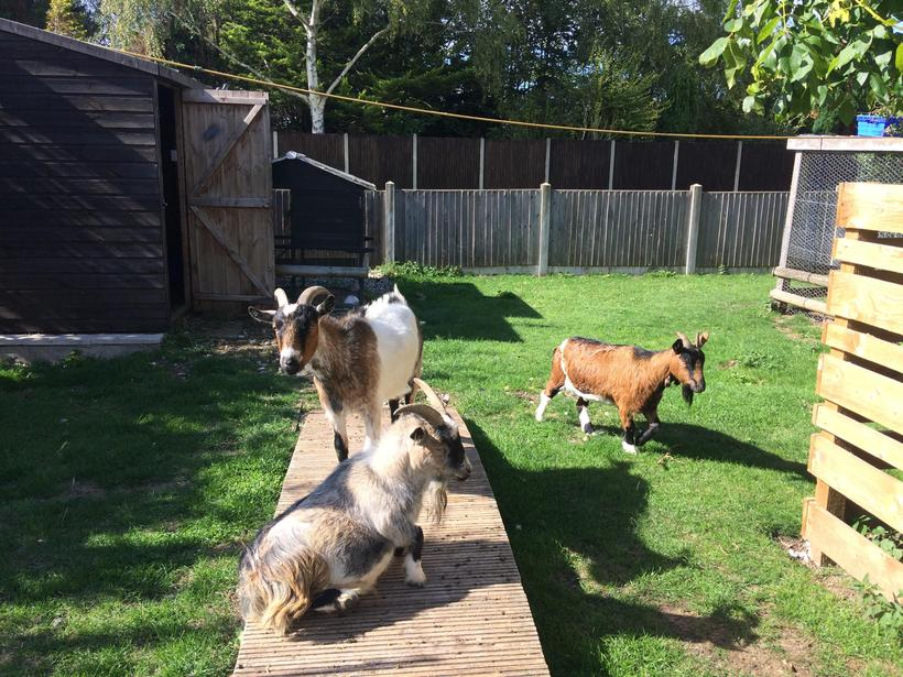 Willow, Bramble and Fawn the goats.