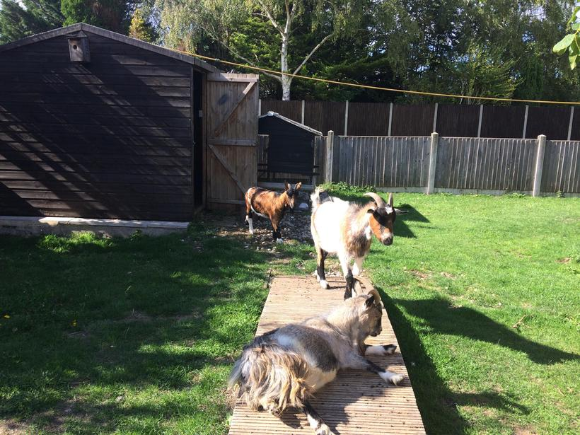 The Three Little Goats