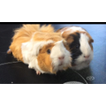 Louis's guinea-pigs Popcorn and Snuggles