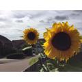 Stunning Sunflowers Connor