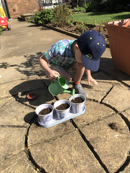 Planting Dragon flower seeds