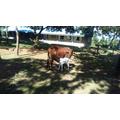 Cow and calf no 1
