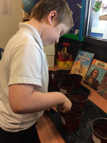 Planting the sunflower seeds