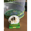 The caterpillars we nurtured are now cocoons and ready to be transferred to their newhome.