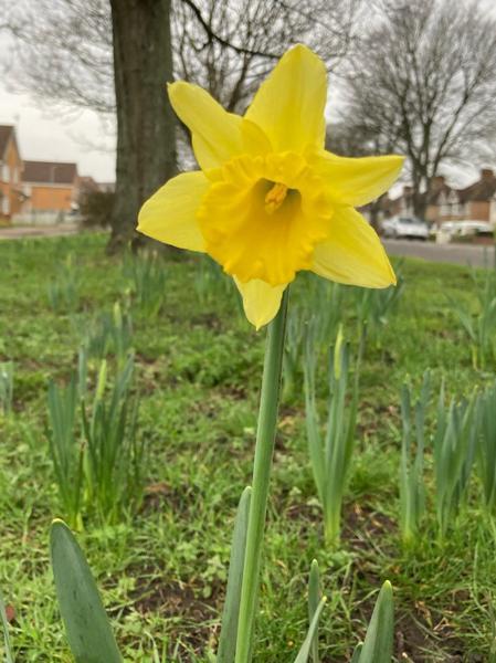 Daniel Daffodil