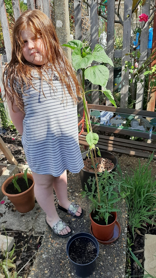 Ruby's very tall sunflower shes been growing!