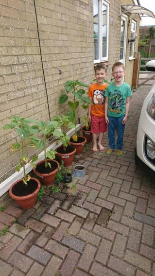 Elias and Jacob have been growing tall sunflowers!
