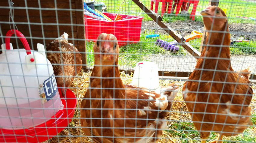 Our hens.