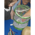 Our caterpillars and chrysalis'.