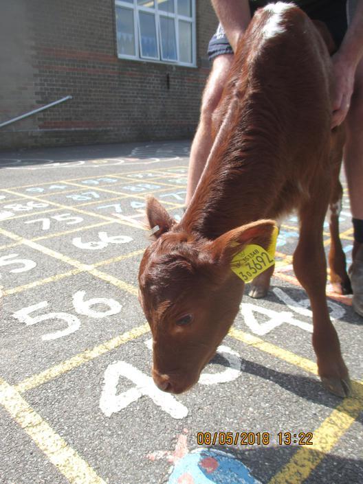 Visiting Calf