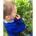 Picking and eating tomatoes