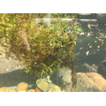 Louie's tadpoles