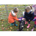 The pigs liked their backs being brushed