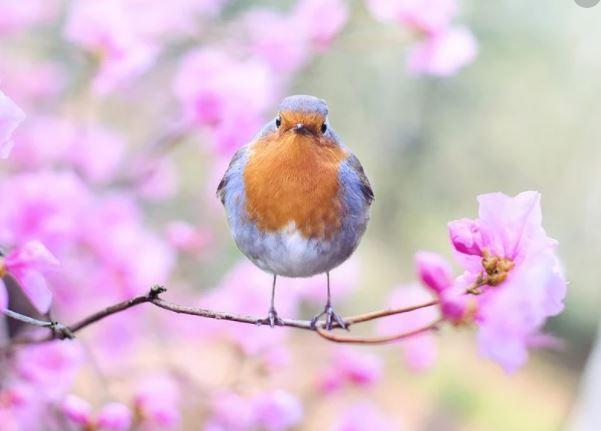 I couldn't resist - a Robin in Spring