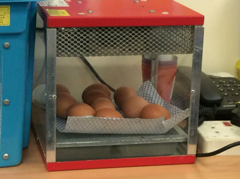The eggs are being kept warm in the incubator.