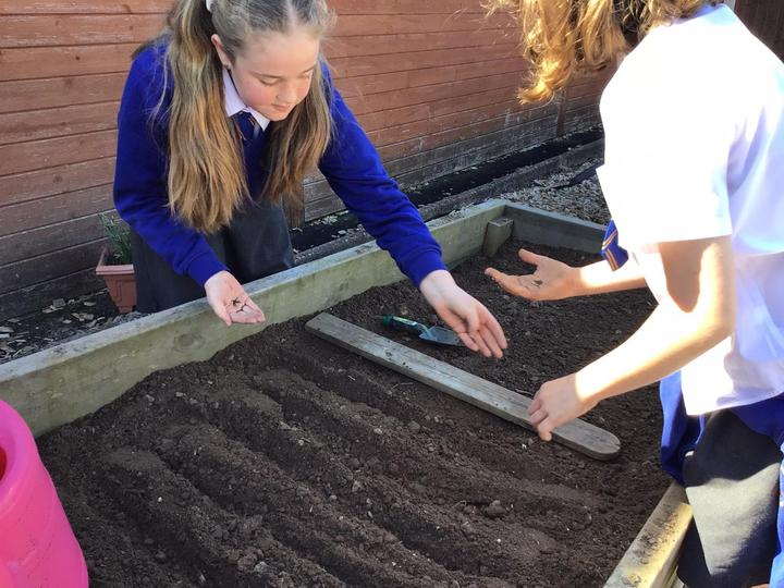 Planting carrots in careful rows