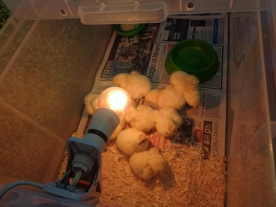 10 cyw mewn bocs - 10 chicks in a box