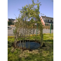 Field willow dome tidied up with new bark