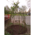 The top yard willow dome with new bark