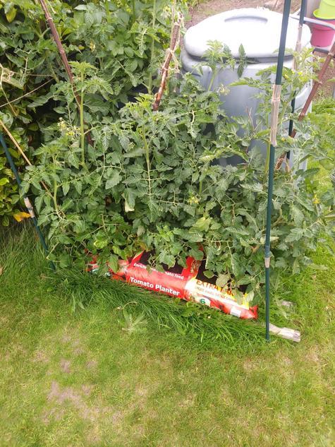Planhigion Tomato
