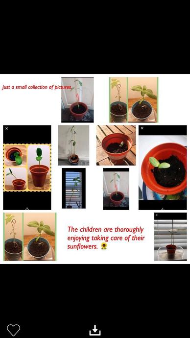 We have enjoyed looking after our sunflowers at home this half term.