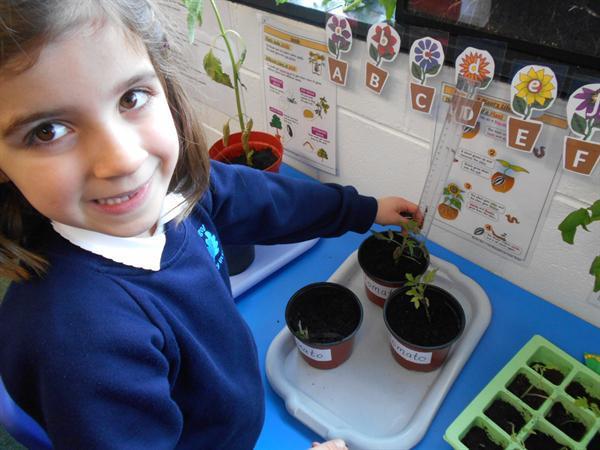 Measuring plants.