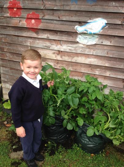 our potato plants are growing very tall