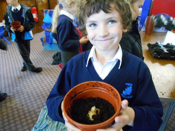 Planting Hyacinths for Christmas