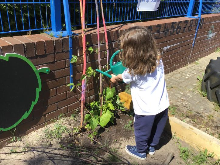 Watering our beanstalks.