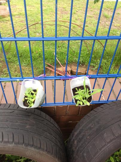 the flower seeds we planted are growing well