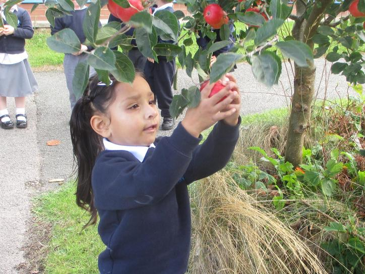 Picking apples from the tree in Nursery.