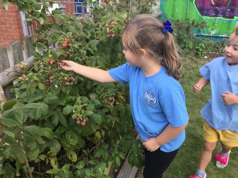 We have many raspberry bushes